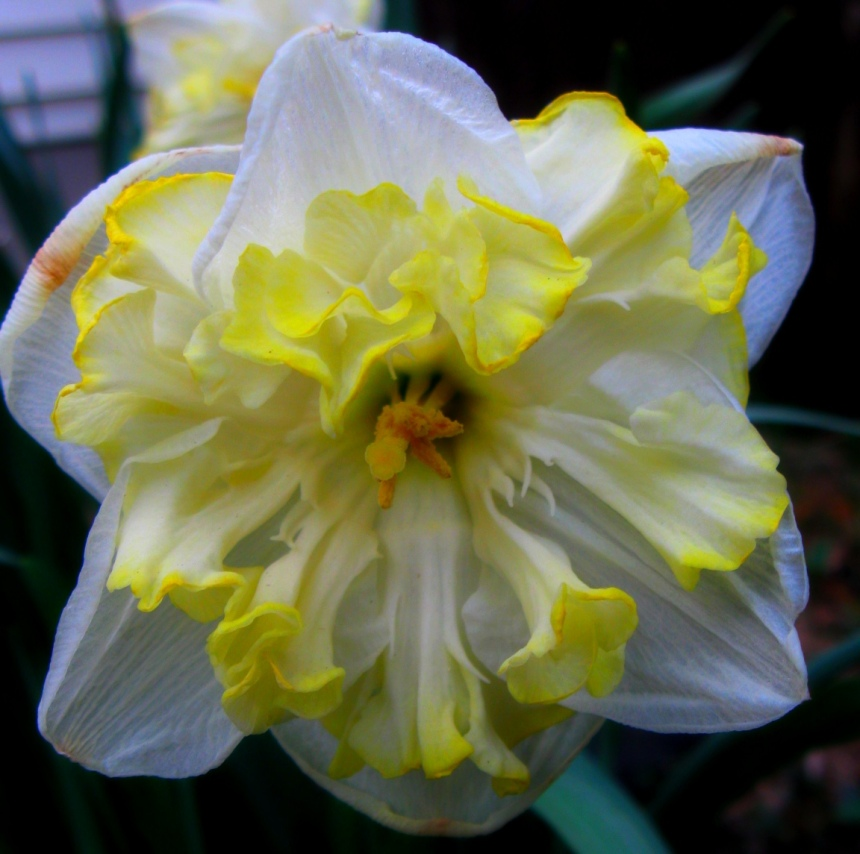 Frilly narcissus.